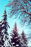 冷杉落叶树的分支和枝杈 库存图片