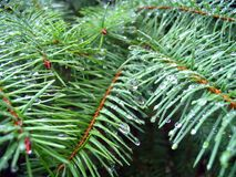 冷杉针结构树 图库摄影