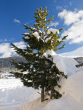 冷杉雪结构树 库存图片