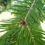 冷杉,凤仙花受苦balsamea -接近和瓢虫 免版税图库摄影