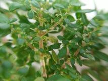 冷水花属microphylla,马尾藻,火炮,火药植物,Brilhantina 免版税库存照片