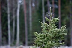 冷淡的云杉的网背景 库存图片