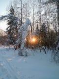 冷淡的晴朗的冬天晚上在多雪的乡下 年轻树稀薄的树干弯曲在丰富的雪覆盖物下 库存图片