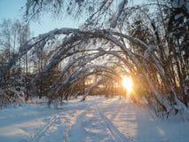 冷淡的晴朗的冬天晚上在多雪的乡下 年轻树稀薄的树干弯曲在丰富的雪覆盖物下 图库摄影