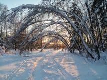 冷淡的晴朗的冬天晚上在多雪的乡下 年轻树稀薄的树干弯曲在丰富的雪覆盖物下 免版税库存图片