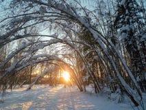 冷淡的晴朗的冬天晚上在多雪的乡下 年轻树稀薄的树干弯曲在丰富的雪覆盖物下 免版税库存照片