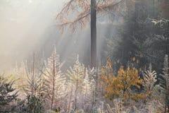 冷淡的有雾的早晨在森林里 图库摄影