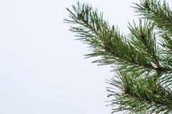 冷淡的杉木分支在室外冬天的公园 免版税库存照片
