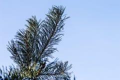 冷淡的杉木分支在室外冬天的公园 库存照片