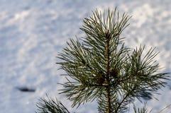 冷淡的杉木分支在室外冬天的公园 免版税图库摄影