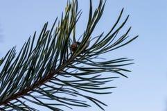 冷淡的杉木分支在室外冬天的公园 库存图片