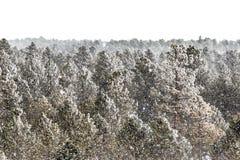 冷淡的杉木森林在科罗拉多 图库摄影