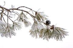冷淡的杉木 免版税库存照片