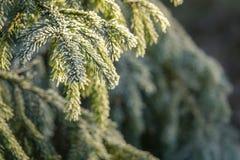 冷淡的杉树 免版税库存照片