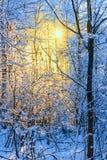 冷淡的树在冬天森林里在晴朗的早晨 免版税库存照片