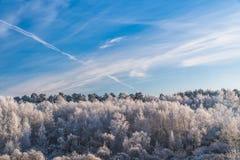 冷淡的树在森林里在蓝天下 免版税库存照片