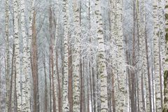 冷淡的桦树森林 免版税库存图片