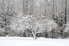 冷淡的结构树 库存图片