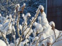 冷淡的野玫瑰果 免版税库存图片