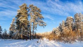 冷淡的晴天在乌拉尔的森林里,俄罗斯 免版税图库摄影