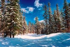 冷淡的晴天在冬天森林里 免版税图库摄影