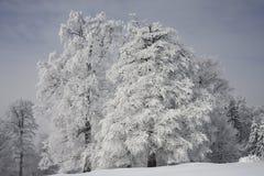 冷淡的结构树 免版税库存图片