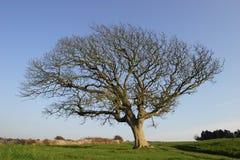 冷漠的结构树 免版税库存照片