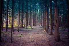 冷的绿色云杉的森林 免版税库存照片