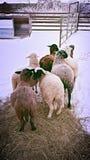 冷的绵羊 免版税库存图片