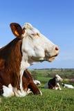 冷静母牛 免版税库存照片