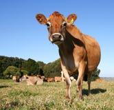 冷静母牛 库存图片
