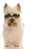 冷静狗猎犬 库存图片