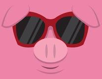 冷静猪太阳镜 库存图片