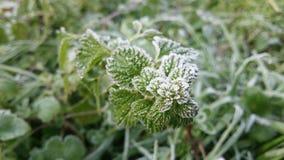 冷冻绿色薄菏在一12月天 免版税库存图片
