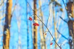冷冻花楸浆果在阳光下在冬天森林里 免版税库存图片