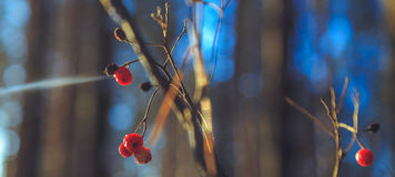 冷冻花楸浆果在阳光下在冬天森林里 库存照片