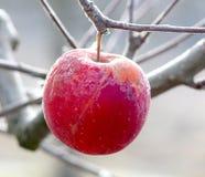 冷冻苹果在早期的晴朗的12月morinig的一棵苹果树 库存图片