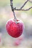 冷冻苹果在早期的晴朗的12月morinig的一棵苹果树 免版税库存照片