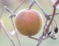 冷冻苹果在早期的晴朗的12月morinig的一棵苹果树 免版税库存图片
