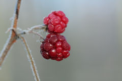 冷冻莓在12月太阳早晨 图库摄影