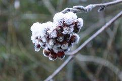 冷冻野玫瑰果在秋天森林里 免版税库存图片