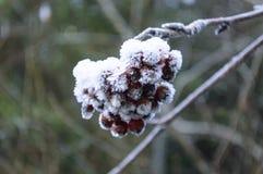 冷冻野玫瑰果在秋天森林里 库存照片