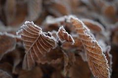冻叶子在冬天 免版税库存照片