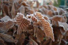 冻叶子在冬天 免版税库存图片