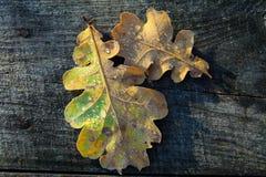 冻橡木叶子 在凋枯的叶子的树冰 免版税库存图片