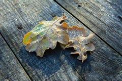 冻橡木叶子 在凋枯的叶子的树冰 免版税库存照片