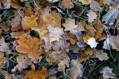 冻橡木叶子 在凋枯的叶子的树冰 免版税图库摄影