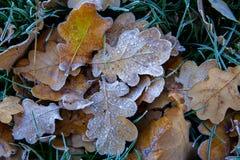 冻橡木叶子 在凋枯的叶子的树冰 库存图片