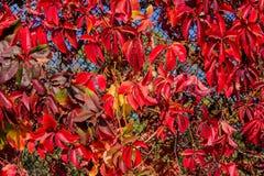 冻橡木叶子 在凋枯的叶子的树冰 图库摄影