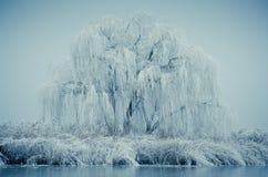 冻结杨柳 图库摄影